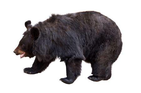 De Aziatische zwarte beer (Ursus thibetanus, Selenarctos thibetanus), ook bekend als de Tibetaanse zwarte beer, de Himalaya zwarte beer, of de maan dragen. Geïsoleerd op witte achtergrond.