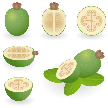 Vector illustration of feijoa Illustration