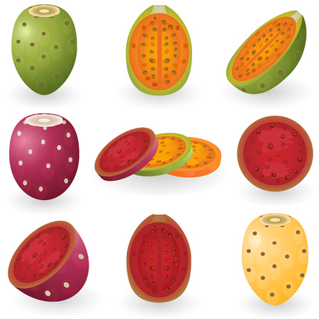 illustration of prickly pear fruit also known as opuntia, cactus fig or tuna.