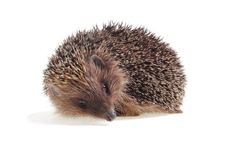 Young hedgehog close up on a white background Stock Photo - 9604261
