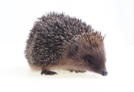 Young hedgehog close up on a white background photo