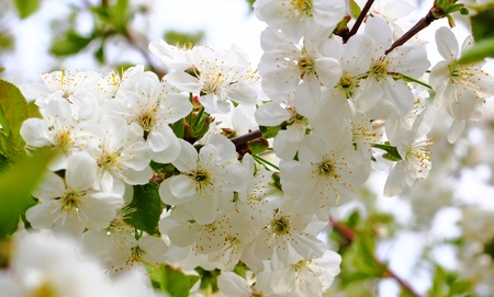 White flowers of a cherry in the spring close up Stock Photo - 9604353