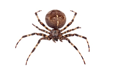 Cross spider isolated on pure white background