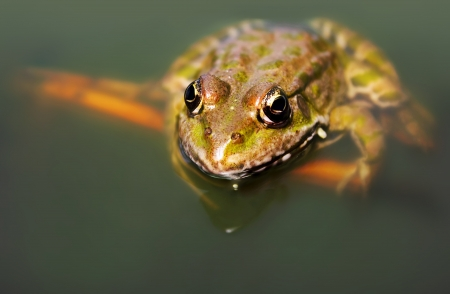 Big green frog (American Bullfrog) floating on the water