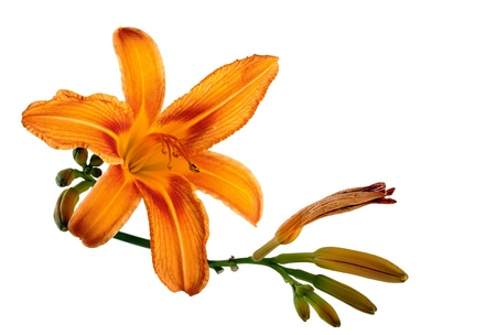 Orange lily flower,Lilium, isolated on white Stock Photo
