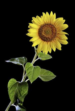beautiful sunflower in front of black background
