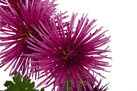 Beautiful pink chrysanthemum isolated on white close-up.