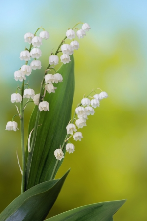 Lily of the valley on green and blue background photo