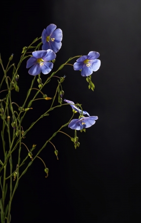 Flax flowers close up on a black background photo