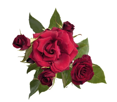 Bouquet of dark red roses on a white background Stock Photo