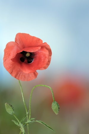 Closeup of red poppy flowers on the field Stock Photo