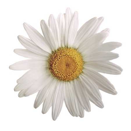 daisy flower: closeup of a beautiful daisy flower isolated on white background