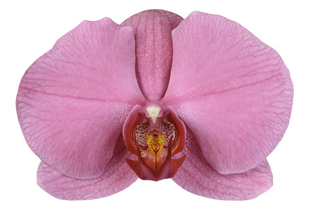 Beautiful Pink  Phalaenopsis Orchid Flower Isolated on the White Background