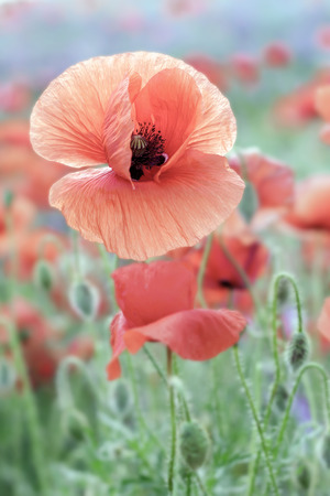 Red poppy flower on the background of colorful   poppy field. Stock Photo
