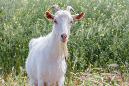 A White goat with horns grazing on the meadow Stock Photo