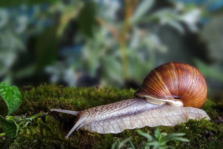Snail in sphagnum moss. Shallow depth of field, focus on the head of a snail
