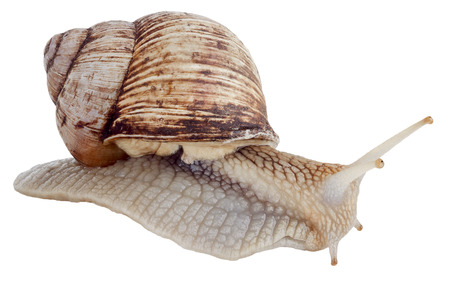 slithery: Helix pomatia common names the Burgundy snail Roman snail edible snail or escargot isolated on the white background