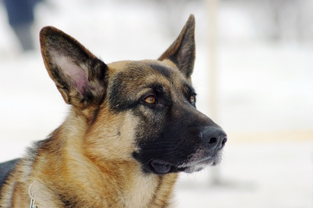 Closeup portrait of a german shepherd Stock Photo