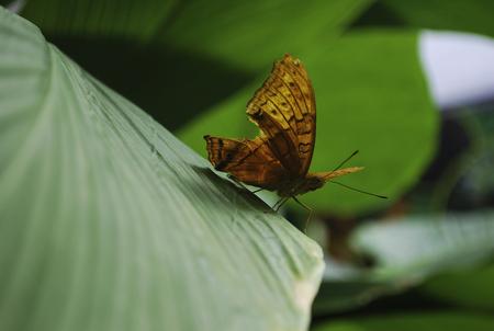 Beautiful Australian orange leafwing butterfly Banco de Imagens