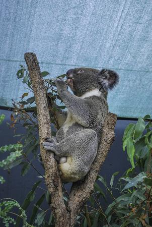 Profile of Koala eating leaves under the roof, NSW, Australia
