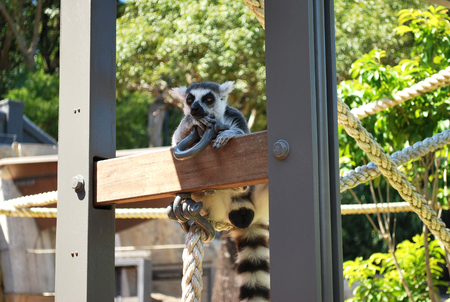skepticism: Ring-tailed lemur bachelor showing skepticism on a sunny day in Taronga zoo Stock Photo