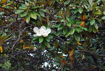 A branch with a white blooming flower of ficus macrophylla, also known as fig tree