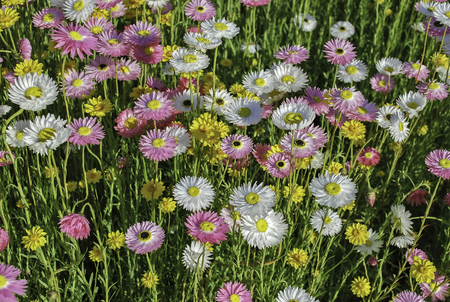 Floral multicolored daisies on sunset meadow
