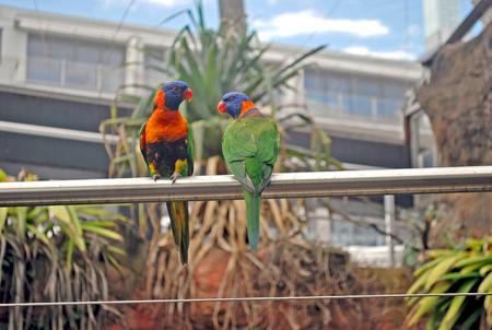 Green lorikeets with a blue head and orange beak sitting on a rack, bird in the nature habitat, Australia