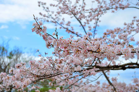 Cherry Blossom with clear blue sky