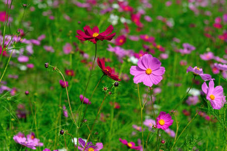 A beautiful cosmos flower field