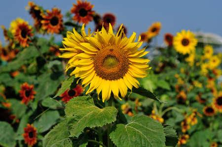 A beautiful sunflower field Stock Photo