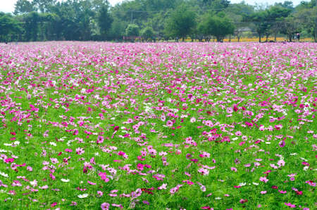 Cosmos flowers field in the farm