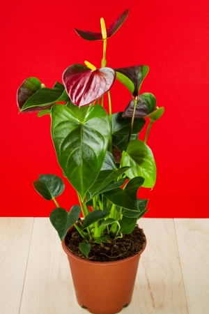 Anthurium, decorative houseplant with bright leaves, on a red background photo