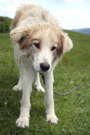 lonely chained dog, looking at the camera on a grass field. photo