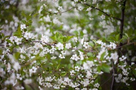 partially: Partially blurred cherry blossoms Stock Photo