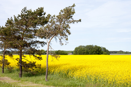 inclined: trees inclined over a rape field