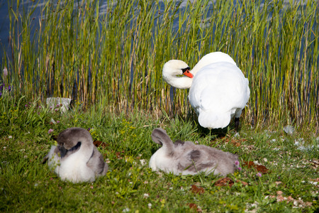 cygnet: Swan on a background of grass and water with two cygnet