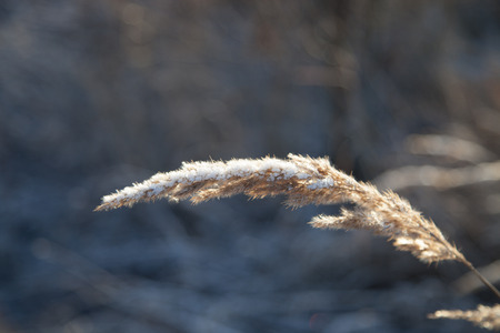 vernal: Closeup of the vernal grasses under the snow