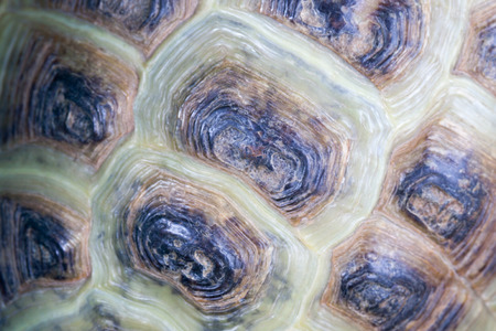 Texture of the turtles carapace. Stock Photo