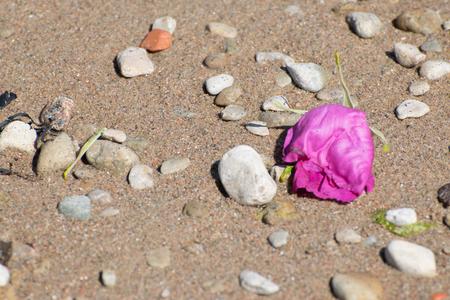 sere: Sere rose on the beach