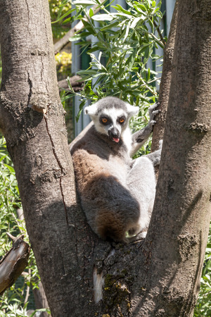 lemur sitting on a branch with his tongue hanging out photo