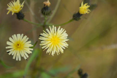 approximation: Wild flower. Wildflowers in the approximation. Autumn in the Far East of Russia.