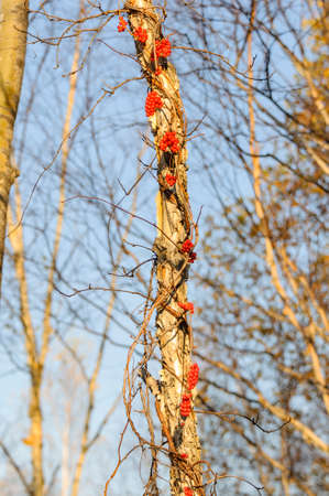 far eastern: Brush fruit Schizandra. Far Eastern taiga. Spurs Sikhote - Alin. Stock Photo