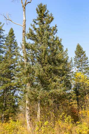 far eastern: The trees Far Eastern taiga. Taiga beauty. Trees, shrubs, grass in the Far Eastern taiga. Stock Photo