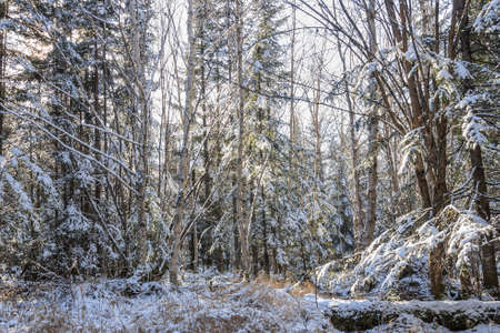 frosty morning: Frosty morning in the forest. Far Eastern taiga, in November, the first snow, frosty morning.
