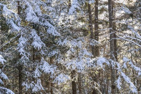 far eastern: Frosty morning in the forest. Far Eastern taiga, in November, the first snow, frosty morning.