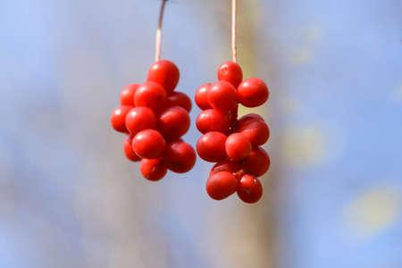 the taiga: Brush fruit Schizandra. Far Eastern taiga. Spurs Sikhote - Alin. Stock Photo