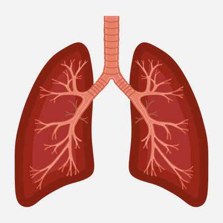 human lung anatomy diagram. illness respiratory cancer graphics.respiratory systems. Vector Vetores