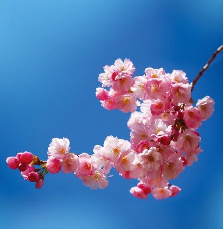 Japanese cherry tree photo