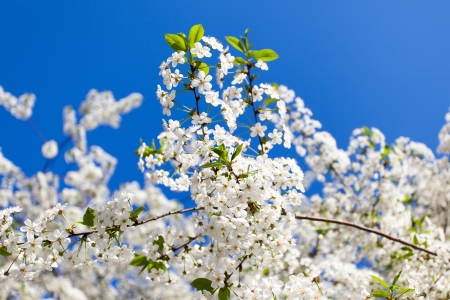 cherry tree against blue sky photo
